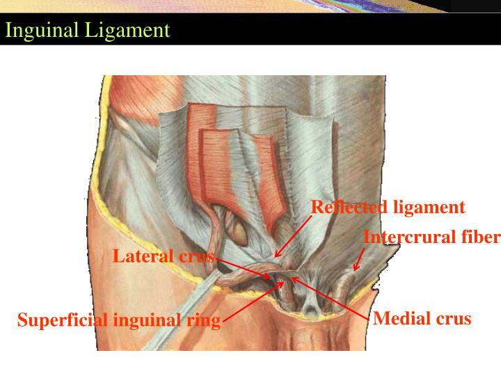 Ppt Landmarks For Inguinal Ligament Powerpoint Presentation Id