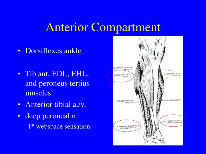 Anterior Compartment
