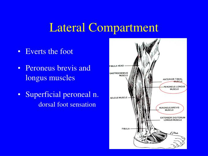Lateral Compartment