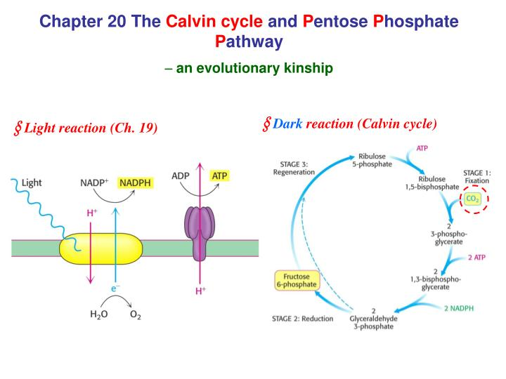 chapter 20 the calvin cycle and p entose p hosphate p athway an evolutionary kinship n.