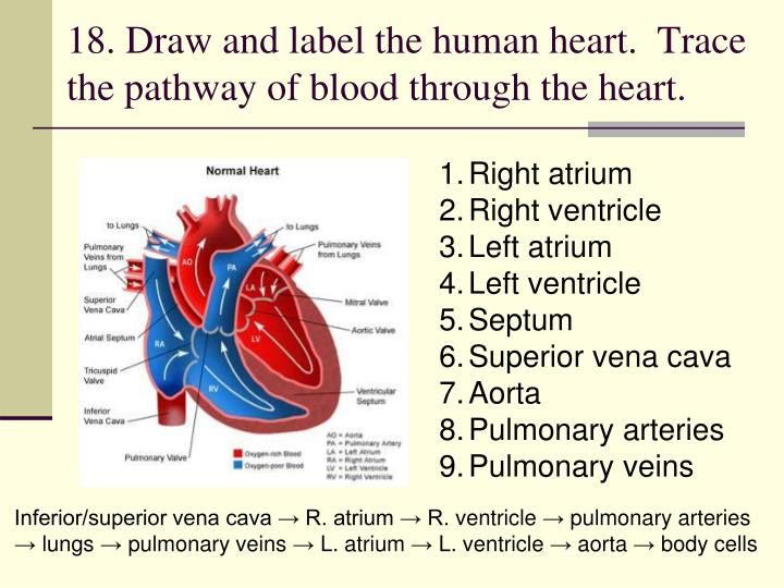 18. Draw and label the human heart.  Trace the pathway of blood through the heart.