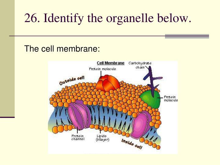 26. Identify the organelle below.