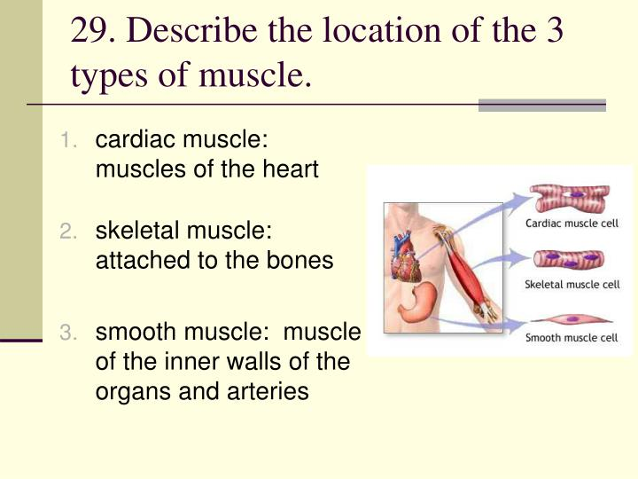 29. Describe the location of the 3 types of muscle.