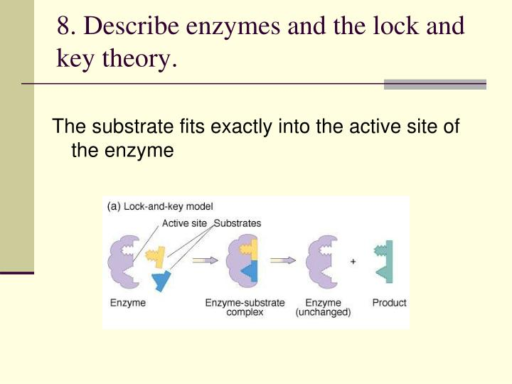 8. Describe enzymes and the lock and key theory.