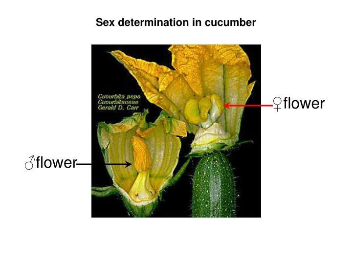 Sex determination in cucumber