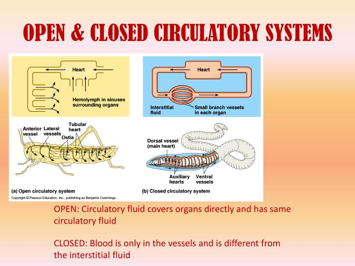 Annelids besides Closed Double Circulatory System Year 11 Bio Key Points Circulatory Systems additionally Closed Circulatory Systems furthermore Default as well Double Circulation Definition Advantage Quiz. on closed circulatory system