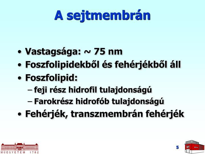 A sejtmembrán