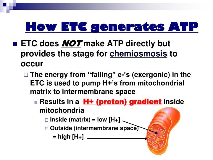 How ETC generates ATP