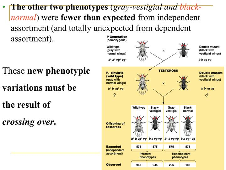 fruit fly dihybrid cross Lab report drosophila melanogaster 171,625 views to determine the ratio of monohybrid cross, dihybrid cross and sex linkage human genetics and the fruit fly.
