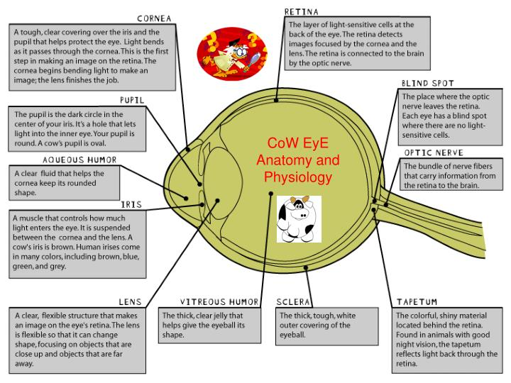 Perfect Eye Anatomy Ppt Motif - Anatomy And Physiology Biology ...