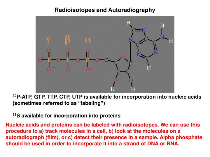 Radioisotopes and Autoradiography