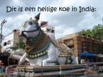 dit is een heilige koe in india