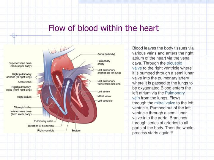 Flow of blood within the heart