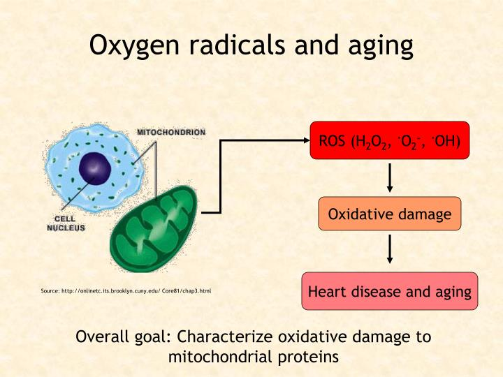 Oxygen radicals and aging