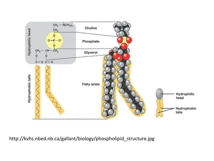Http://kvhs.nbed.nb.ca/gallant/biology/phospholipid_structure.jpg