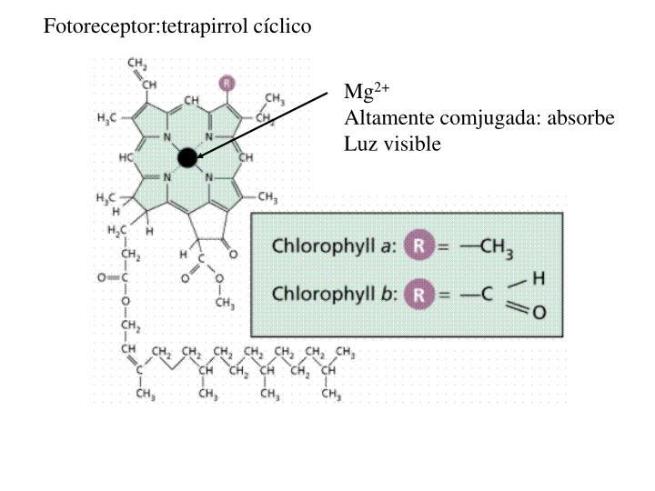 Fotoreceptor:tetrapirrol cíclico