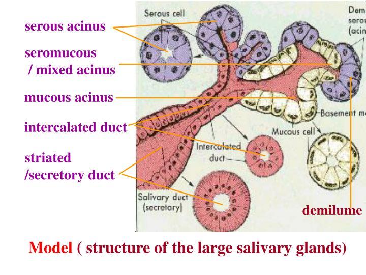 serous acinus