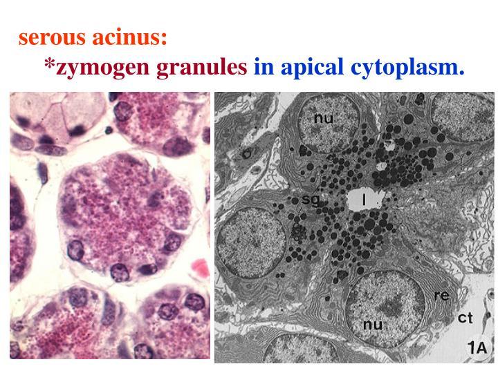 serous acinus: