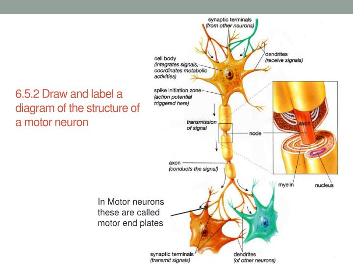 Ppt Nervous System Powerpoint Presentation Id3659430