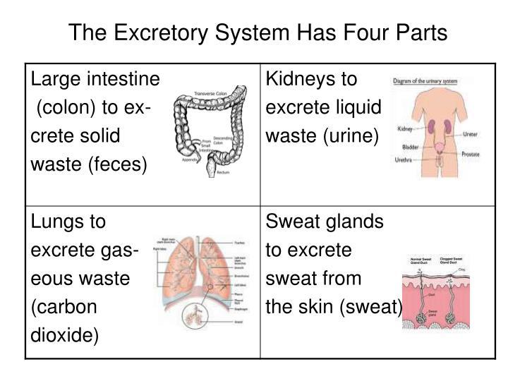 Human excretory system |authorstream.