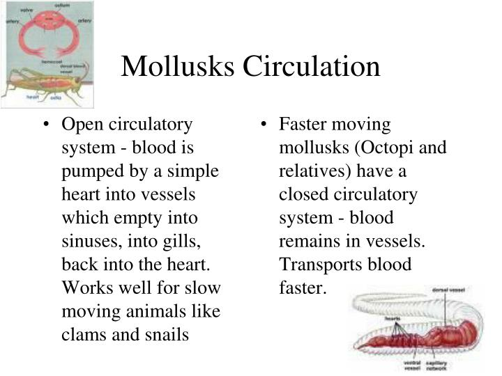 Open circulatory system - blood is pumped by a simple heart into vessels which empty into sinuses, into gills, back into the heart.  Works well for slow moving animals like clams and snails