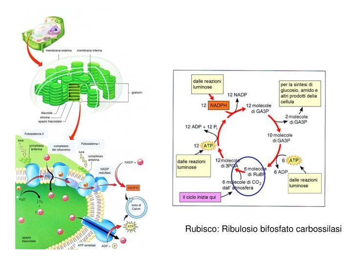 Rubisco: Ribulosio bifosfato carbossilasi