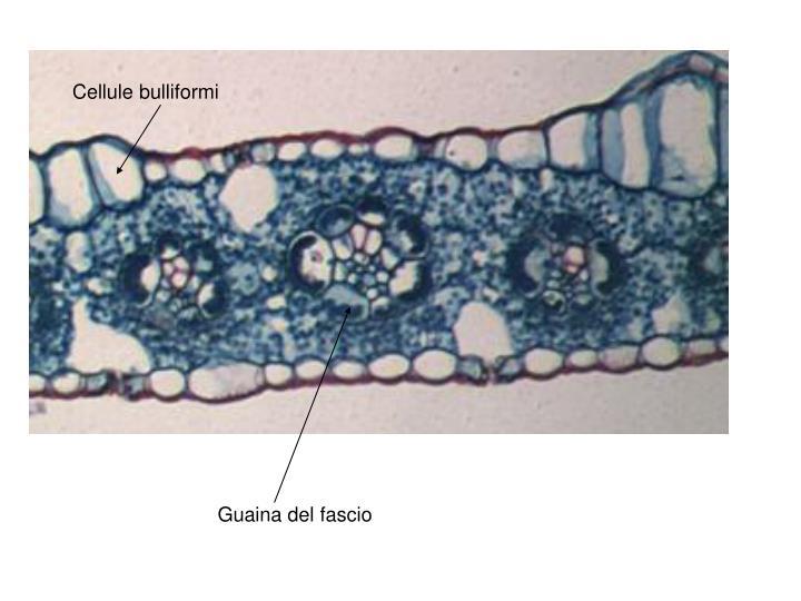 Cellule bulliformi