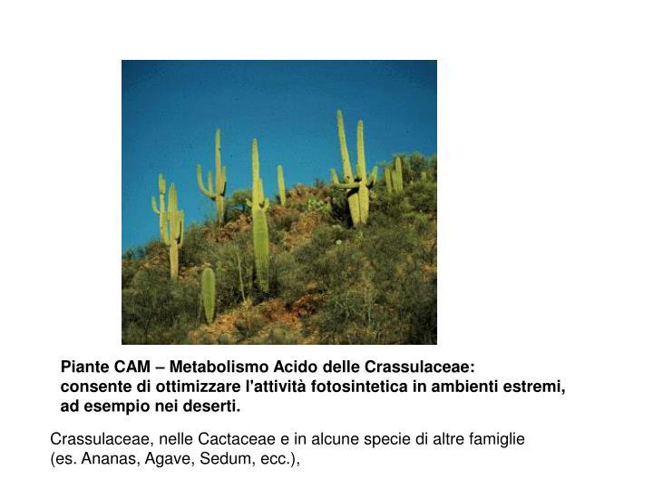 Piante CAM – Metabolismo Acido delle Crassulaceae: