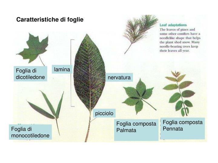 Caratteristiche di foglie