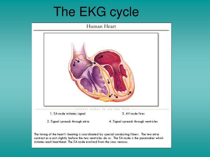 The EKG cycle