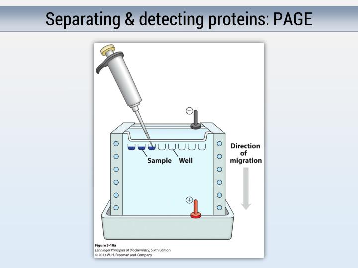 Separating & detecting proteins: PAGE