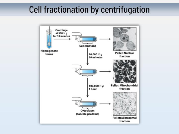 Cell fractionation by centrifugation