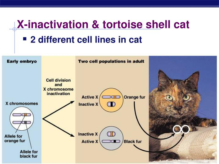 X-inactivation & tortoise shell cat