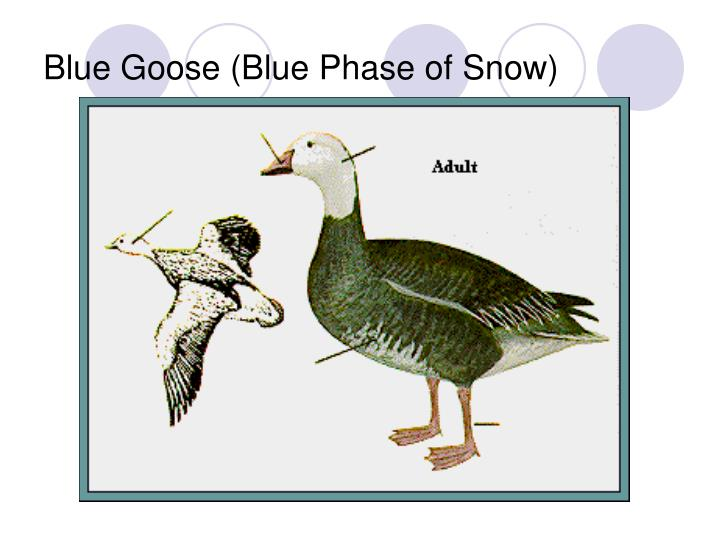 Blue Goose (Blue Phase of Snow)
