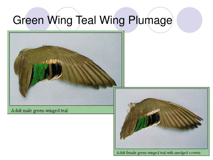 Green Wing Teal Wing Plumage