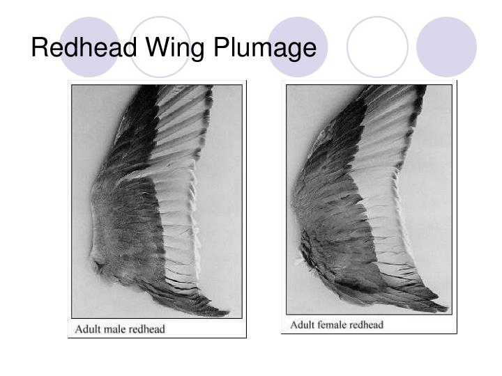 Redhead Wing Plumage