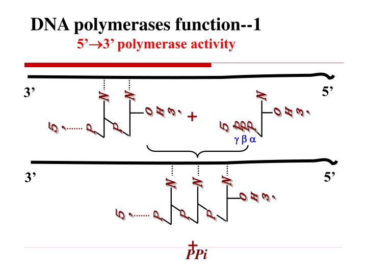 DNA polymerases function--1