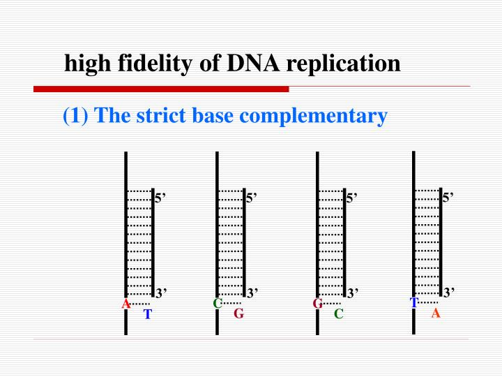 high fidelity of DNA replication
