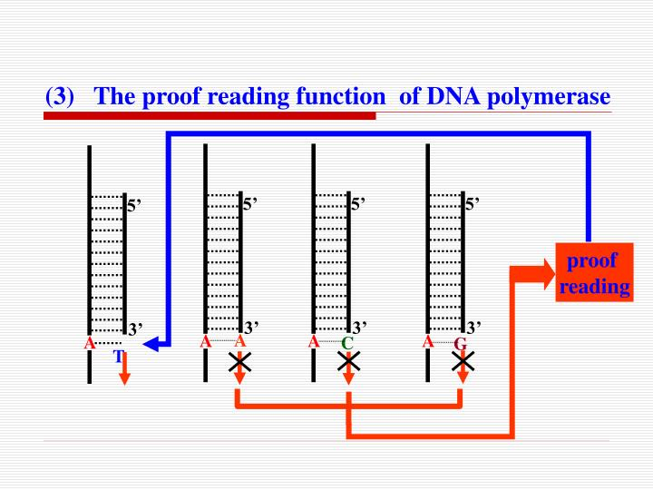 (3)   The proof reading function  of DNA polymerase