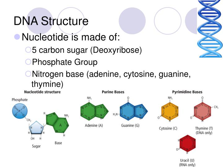 DNA Structure