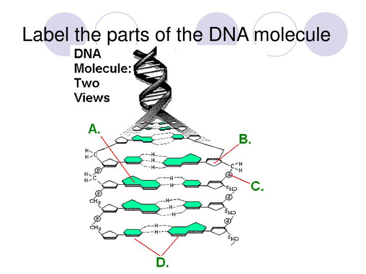 Label the parts of the DNA molecule