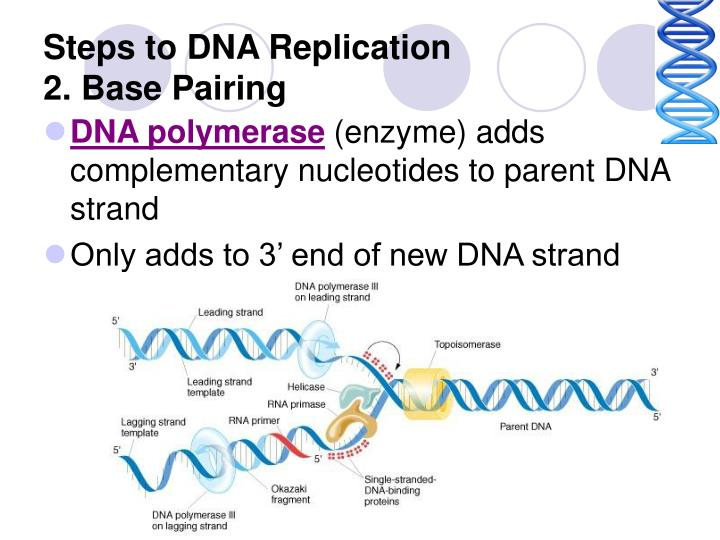 Steps to DNA Replication