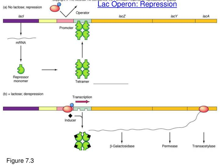 Lac Operon: Repression