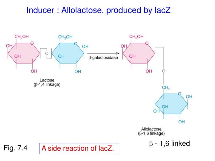 Inducer : Allolactose, produced by lacZ