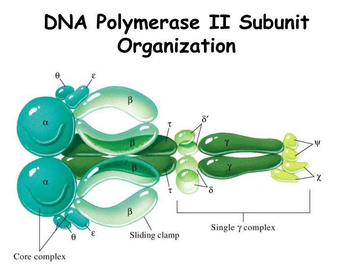 DNA Polymerase II Subunit Organization
