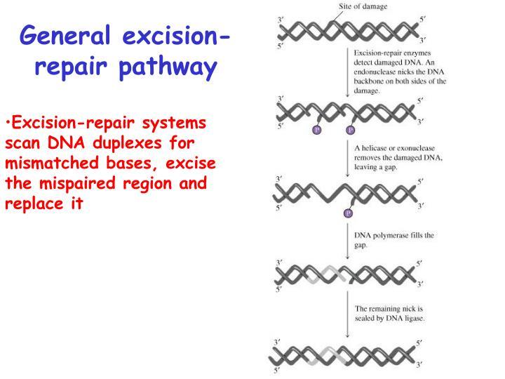 General excision-repair pathway