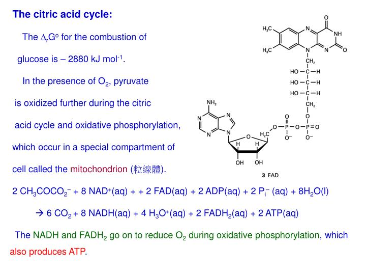 The citric acid cycle: