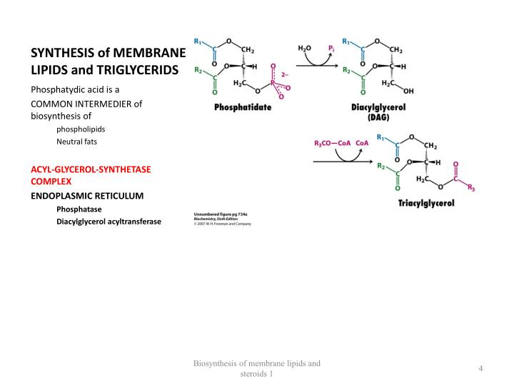 SYNTHESIS of MEMBRANE LIPIDS and TRIGLYCERIDS