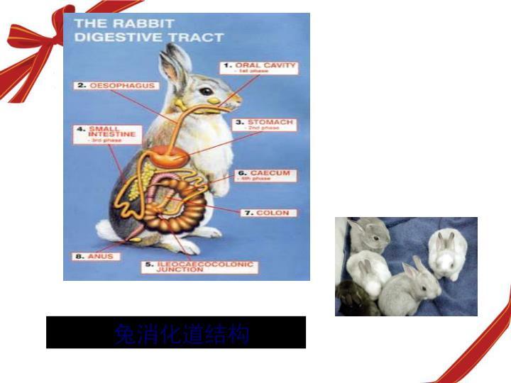 兔消化道结构