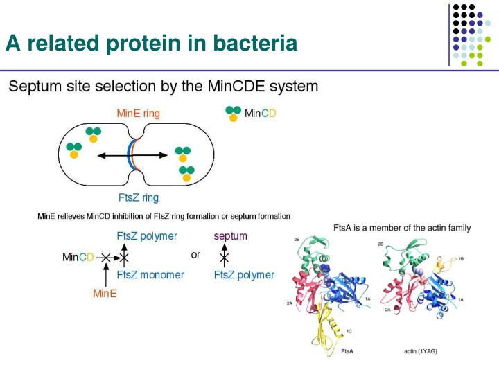 A related protein in bacteria